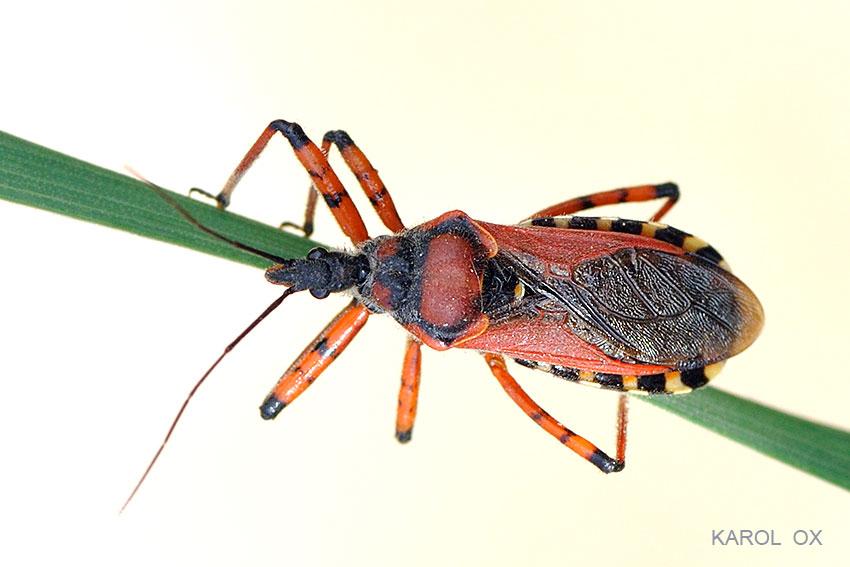 Rhynocoris iracundus